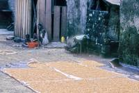 Drying the Corn   STom01101P