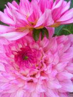 Dahlia  Flower Melody Lizza