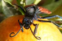Face of Tarantula Hawk Spider Wasp on Orange