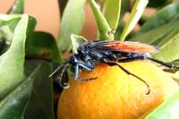 Tarantula Hawk Spider Wasp on Orange