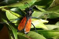 Tarantula Hawk Spider Wasp on Leaves
