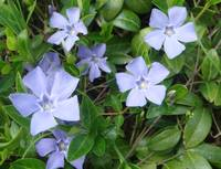 Periwinkle in the Shade