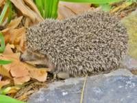 The  Little  Hedgehog