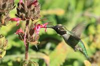 Ruby Throated Hummingbird Sipping Ruby Flowers