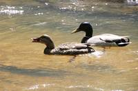 Ducks at Old Roswell Mill Ruins