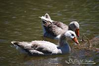 Greylag Geese 20130512_62a
