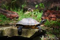 Red Bellied Turtle 20130506_28a