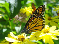 Butterflies Monarchs art prints Yellow Flowers