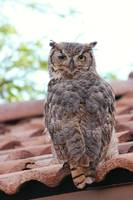 Backyard Habitat and Owl 021