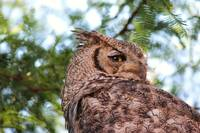 Backyard Habitat and Owl 027
