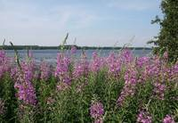 Fireweed beach