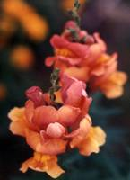 Orange Snapdragon Closeup #1-2