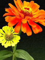 Orange Zinnia and Yellow Zinnia