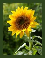 Sunny Flower with large border