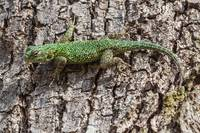 small green lizard