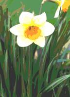 Daffodil Enhanced 2