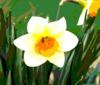 Daffodil Blossom Enhanced