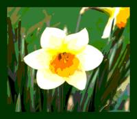 Daffodil Blossom Enhanced w/ border