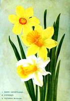 Daffodil Flower Advertisement 1913