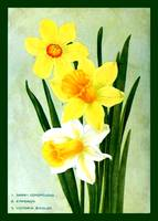 Botanical Flower Daffodils Ad 1913 border