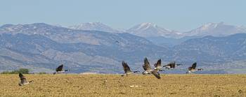 Flying Canadian Geese Colorado Rocky Mountains 1