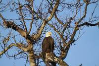 Good Morning Mr. Bald Eagle