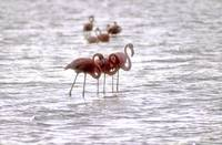 Flamingoes Resting