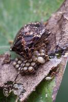 A stink bug guards her eggs