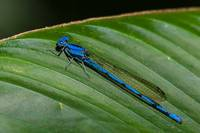 Electric blue damsel fly