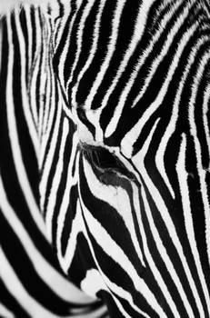 Zebra Profile by Traci...