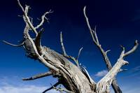 Dead tree at the Grand Canyon Ridge