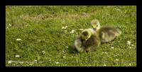 Goslings_MG_0117