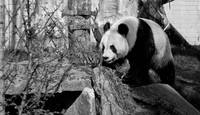 Sweetie the Panda_MG_2406.jpg