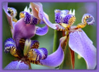 Purple Irises Closeup