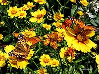 Orange Butterflies on Yellow Coreopsis