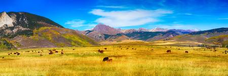 Cattle Grazing Autumn Panorama