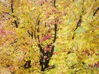 Yellow Tree Autumn Leaves Fall Trees art prints na