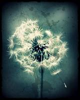 Dandelion, weathered image