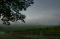 Vineyard at Daybreak