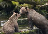 Mama Brown Bear and Cub Take a Break from Fishing