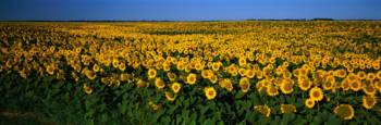 Field of Sunflowers ND