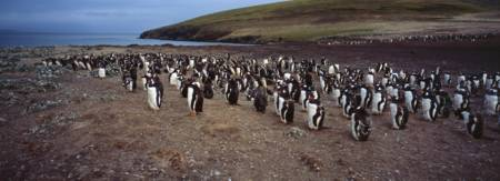 Colony of Gentoo penguins at The Neck Saunders Isl