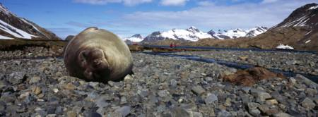Southern Elephant seal Mirounga leonina on the bea