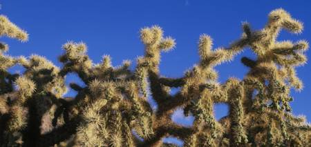 Chainfruit Cholla Cactus Saguaro National Park AZ