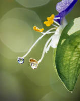 Water drops on Spiderwort flowers