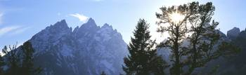 Pine tree with snowcapped mountains in background