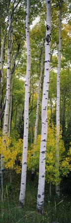 Rocky mountain aspen forest
