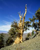 Bristle Cone Pine in side of hill