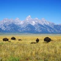 """Field of Bison with mountains in background"" by Panoramic_Images"