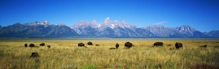 Field of Bison with mountains in background